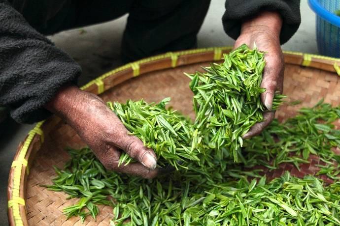 Frisch geschnittener Tee