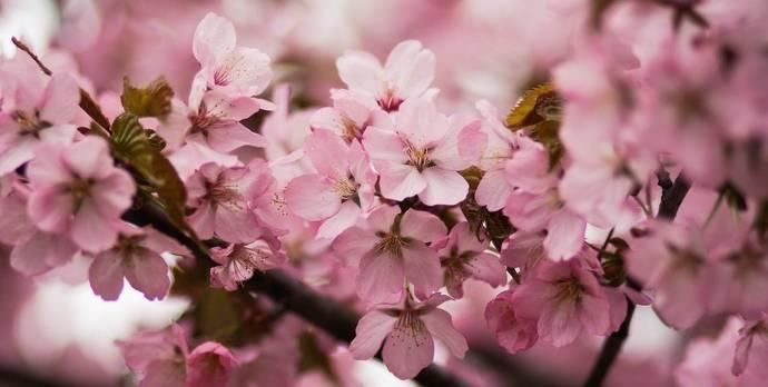 Kirschblüten, Japan, rosa