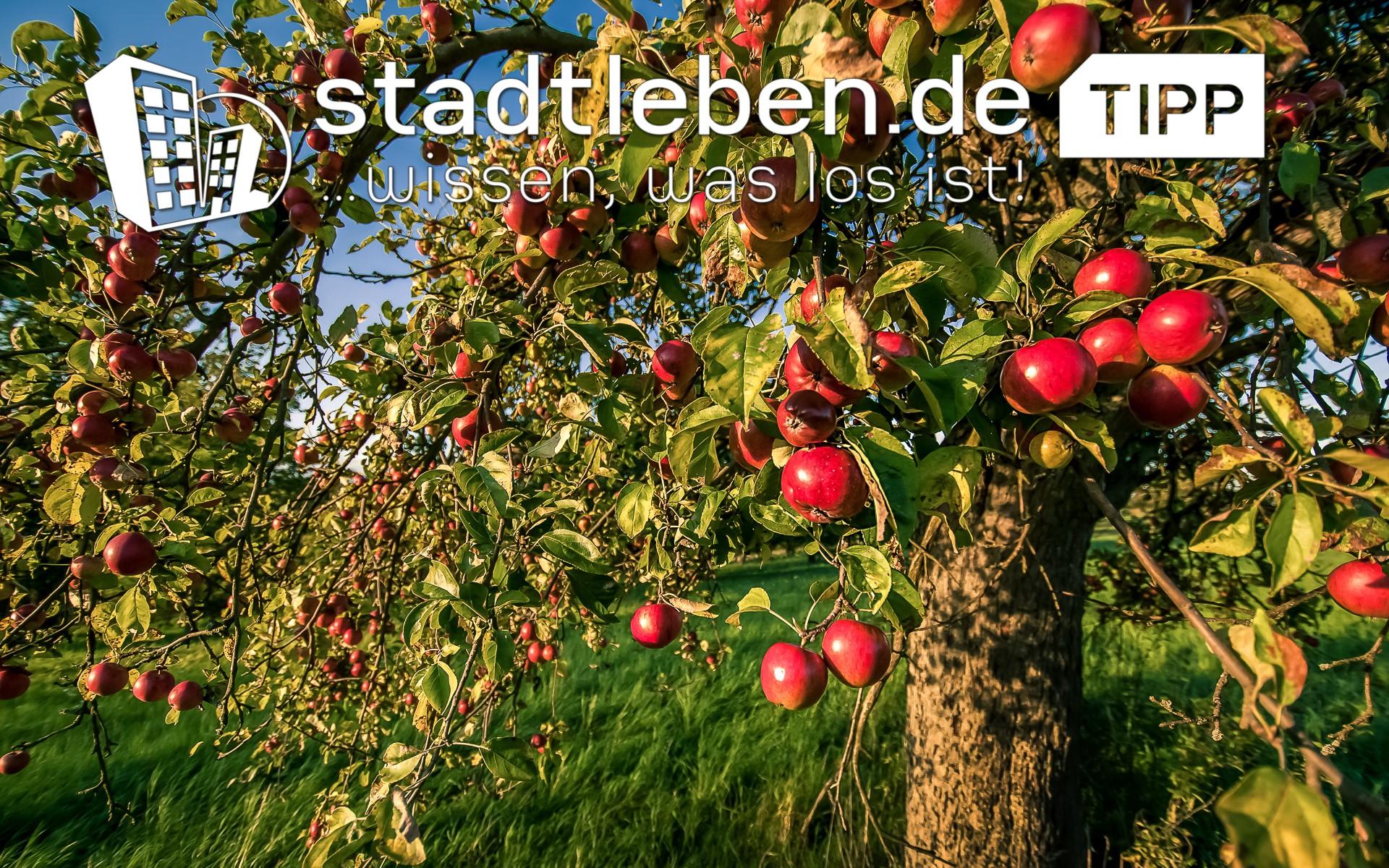 Apfelbäume auf einer grünen Wiese im Spätsommer vor der Apfelernte