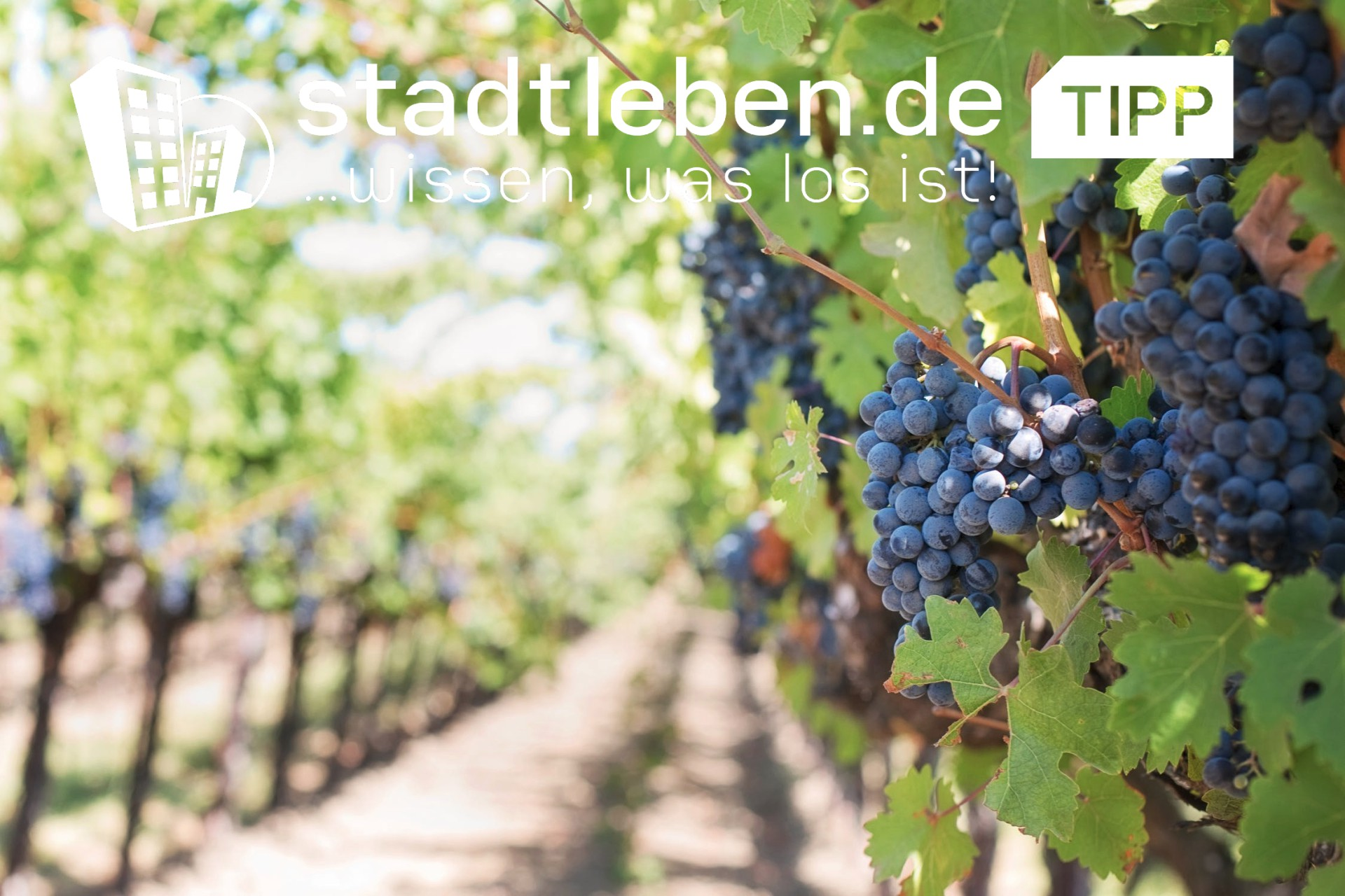 Weinberg mit Weinreben und Trauben