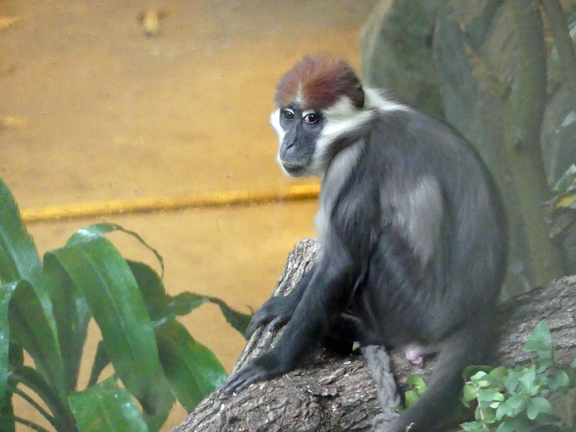 Rotscheitelmangabe, Affe, Menschenaffe, Zoo, Gehege