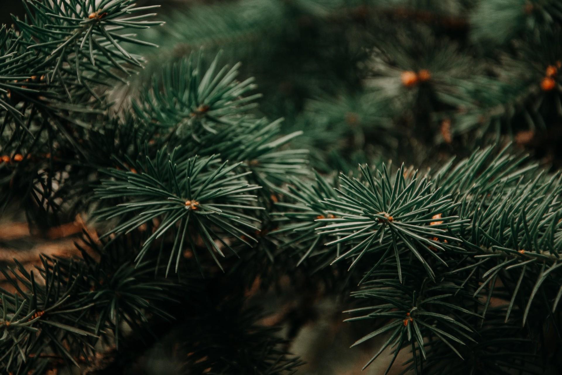 Nadelbaum, grün, Weihnachten