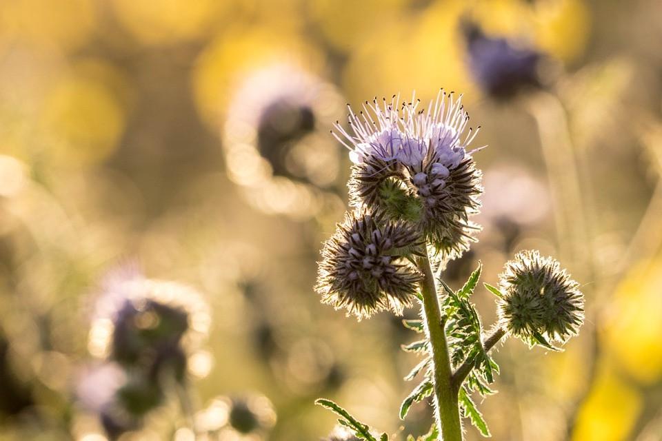 Weinberg, Gegenlicht, Blume, Lichtspiel, Licht, gelb, Rheingau