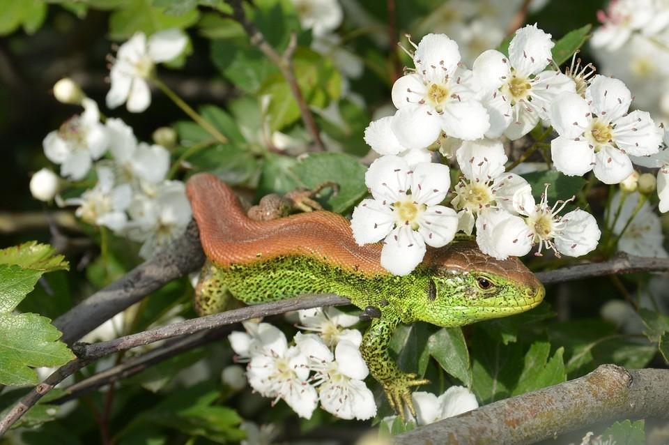 Eidechse, Reptil, Natur, Baum, Blüte, Zauneidechse