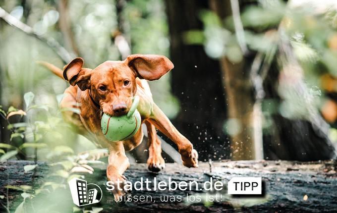 Hund mit ball im Mund der über einen gefallenen Baum springt