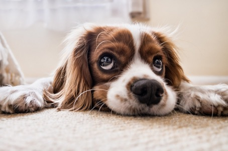 Hund liegt auf Teppich und schaut mit großen Augen