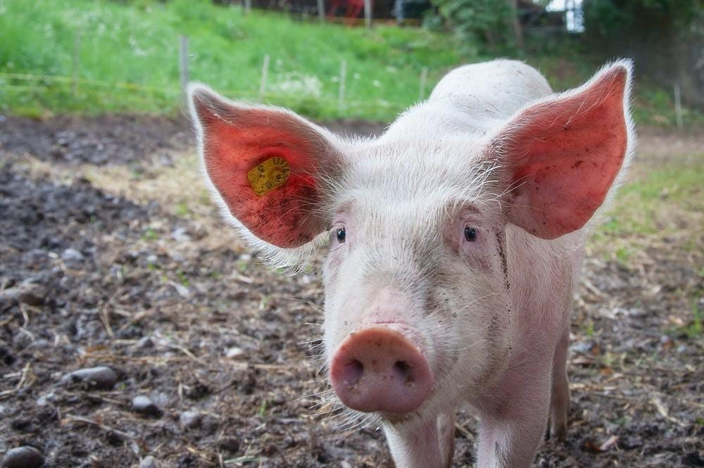 Berlin, Schwein, Tierschutz, artgerecht, Haltung